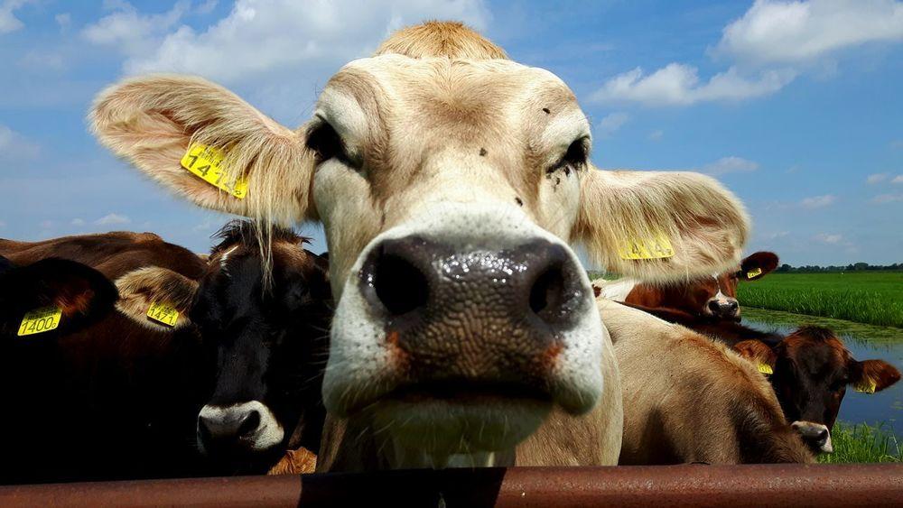 Cow Cowporn Farmlife Farm Animal Koe Boerderij Cattle Vee
