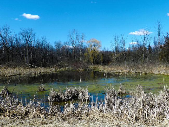 Swamp Beauty In Nature Landscape Nature No People Remote Sky Swamp Tranquil Scene Water Green Blue Blue Sky Dead Dead Grass Moss Algae Pond Marsh Michigan Bare Tree Alone The Great Outdoors - 2016 EyeEm Awards Scenery Scenic Tranquility