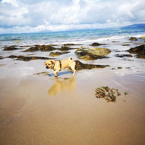 Jugpug Dogs Of EyeEm Dogslife Puppy Water Sea Low Tide Sand Beach Sky Cloud - Sky Horizon Over Water Landscape