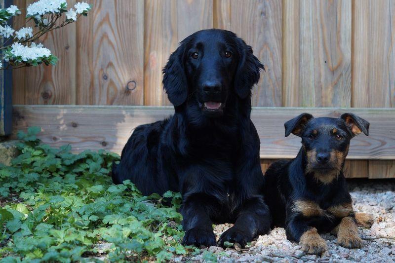 Pets Canine Dog Domestic Domestic Animals Mammal Animal Themes Animal Retriever