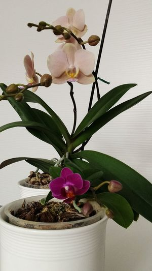 Small big Orchid Indoors  Plant Beauty In Nature Growth ...