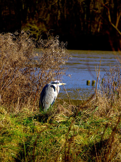 Riverside Animal Themes Animal Wildlife Animals In The Wild Beauty In Nature Bird Day Grass Gray Heron Growth Nature No People One Animal Outdoors Perching Plant Riverbank With Heron Water