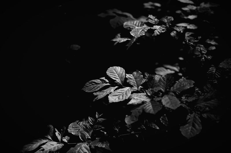 Leaves Flower Petal Nature Beauty In Nature Growth Fragility Plant Leaf Freshness No People Flower Head Night Close-up Outdoors Blooming Blackandwhite