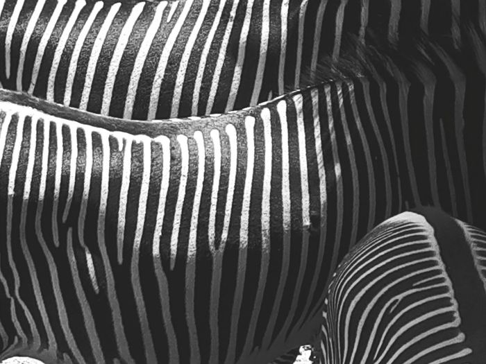 stripes Black And White Blackandwhite Zebra Zebra Stripes Stripes Striped EyeEmNewHere EyeEm Best Shots Backgrounds Full Frame Pattern Textured  Striped Close-up Corrugated Iron Repetition Architectural Detail Spiral Stairs Conformity Parallel Foal LINE Painted Spiral Staircase Corrugated The Still Life Photographer - 2018 EyeEm Awards The Great Outdoors - 2018 EyeEm Awards