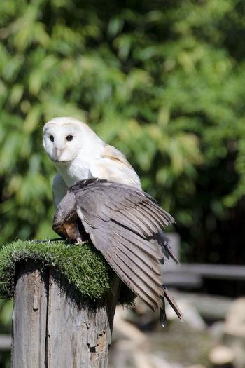 Barn owl perching on wood