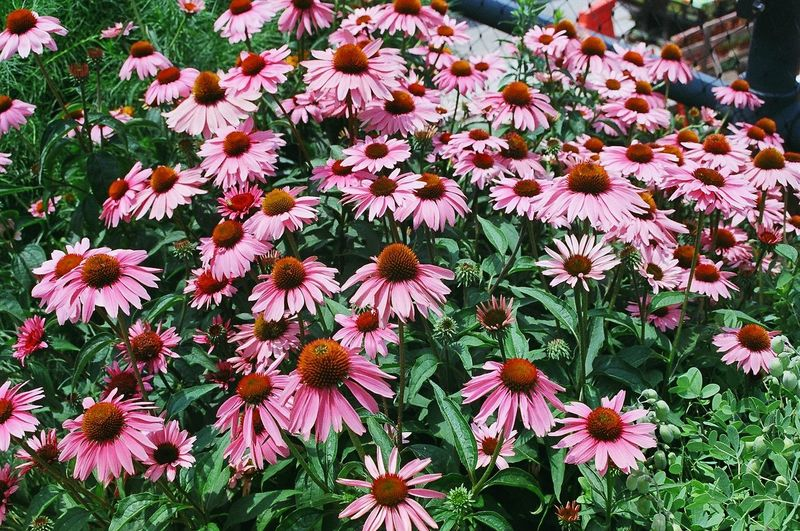 High angle view of eastern purple coneflowers blooming outdoors