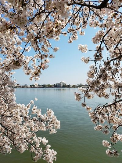 Cherry tree over lake by capitol building against clear sky
