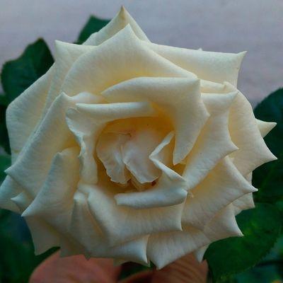 Beyaz Gul Turkcell Maltepe istanbul white rose flower cicek love
