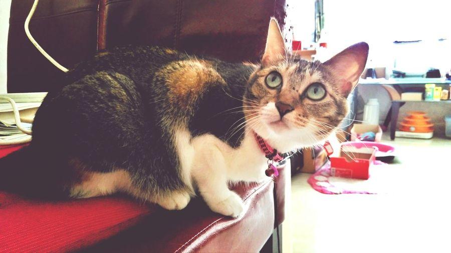 Calicocat Cute Pets Kitty Cat Cat Lovers
