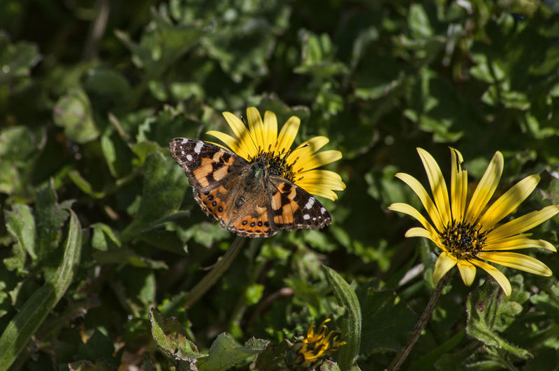 Butterfly Pollinating On Yellow Flower