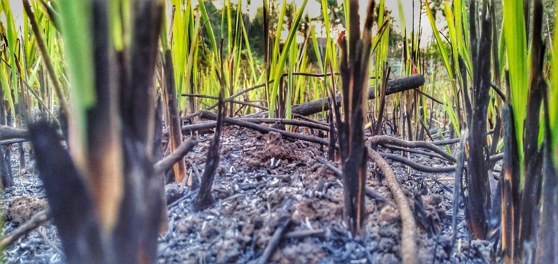 burning & grow Burning Grass Bamboo - Plant Tree Bamboo Grove Grass Close-up Plant