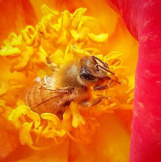 Macro Photography Bee And Flower California Flowers, Nature And Beauty Love My Bees The Pollenator Check This Out Save The Bees Macro_bugs Macrophotography Busy Bee Myflower Beesofeyeem April2015 Californiathroughmylens Macro Spring2016 Small Things Nature At Its Best Just Having Fun With My Bees!