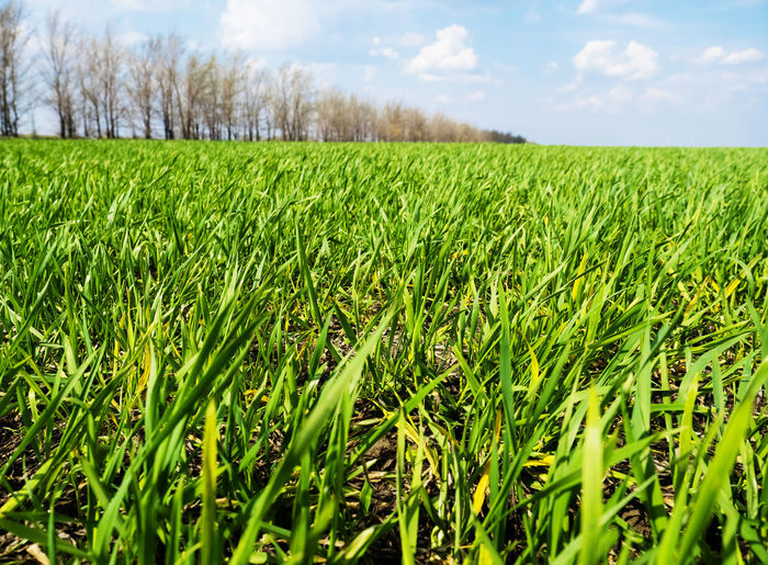 Winter wheat sprouts Field Plant Green Color Land Growth Landscape Agriculture Rural Scene Tranquility Beauty In Nature Sky Environment Cloud - Sky Crop  Nature Scenics - Nature Tranquil Scene Day Farm Grass No People Outdoors Surface Level Plantation Blade Of Grass