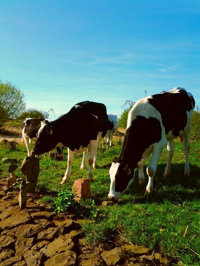 Check This Out Cow Tries Rockbalancing Totally Insane Make Magic Happen