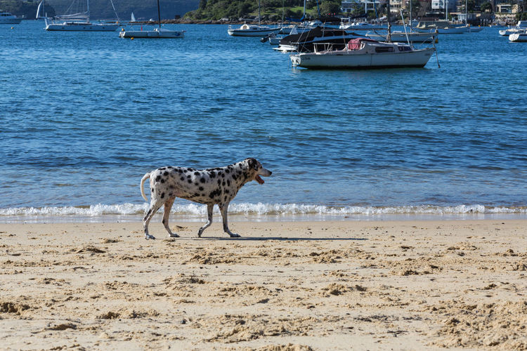 Blackandwhite Blackandwhitedog Blackandwhitesplash Dalmation Dog Domestic Animals Mammal Nature No People On One Animal Outdoors Pets Sand Waves