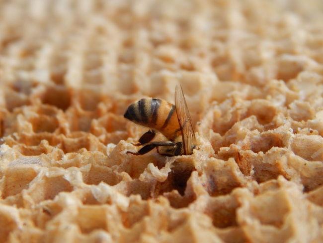 EyeEm Selects Bee Beeswax Workerbee