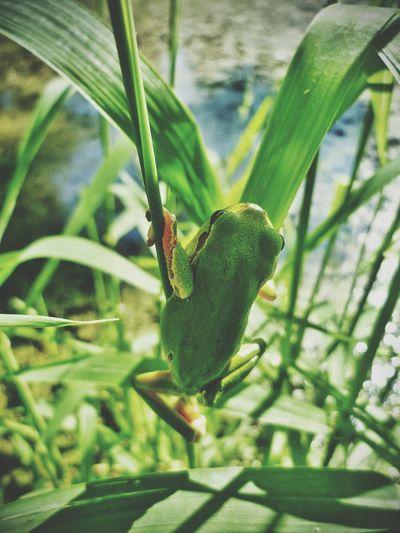 Treefrog Frog