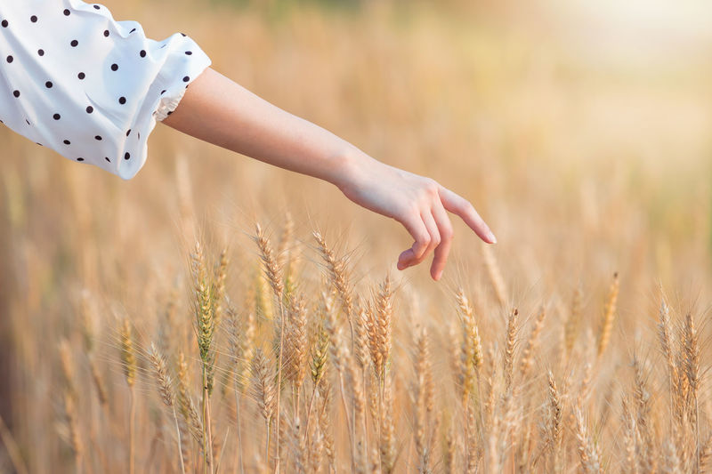Cropped Hand Of Woman Touching Wheat Crops In Field