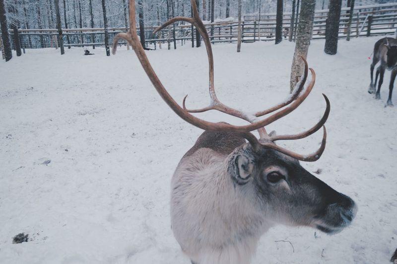 Close-up of reindeer looking away