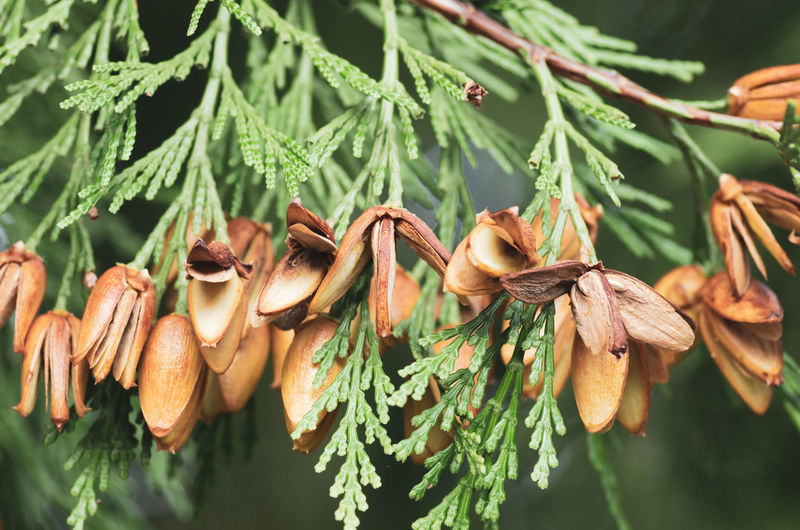 thuja mature cones Beauty In Nature Branch Close-up Coniferous Tree Day Focus On Foreground Food Food And Drink Freshness Green Color Growth Leaf Leaves Nature No People Outdoors Pine Tree Plant Plant Part Selective Focus Tranquility Tree