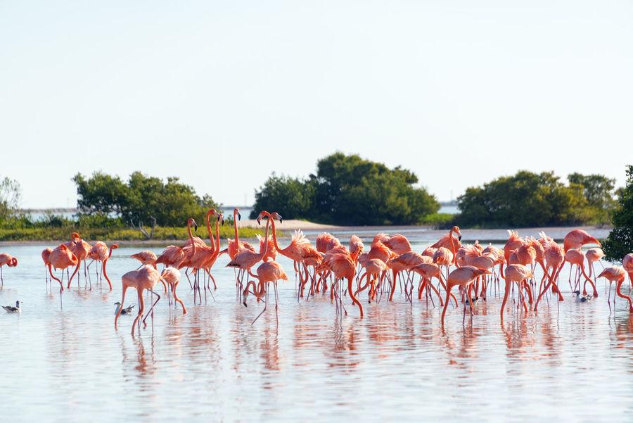Large flock of flamingos near Rio Lagartos, Mexico Central Exotic Flamingo Habitat Mexico Morning Nature Phoenicopterus Ruber Pink Yúcatan America Bird Early Flamingos Lagoon Large Group Of Animals Mangrove Mexican Rio Lagartos Sea Town Water Wildlife Yucatan Mexico Yucatan Peninsula