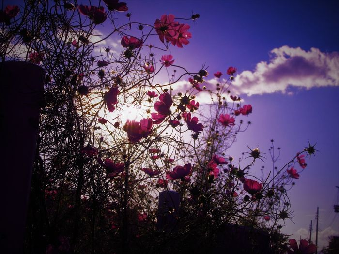 Cosmos Plant Flower Flowering Plant Low Angle View Nature No People Outdoors Pink Color Plant Sky Tree