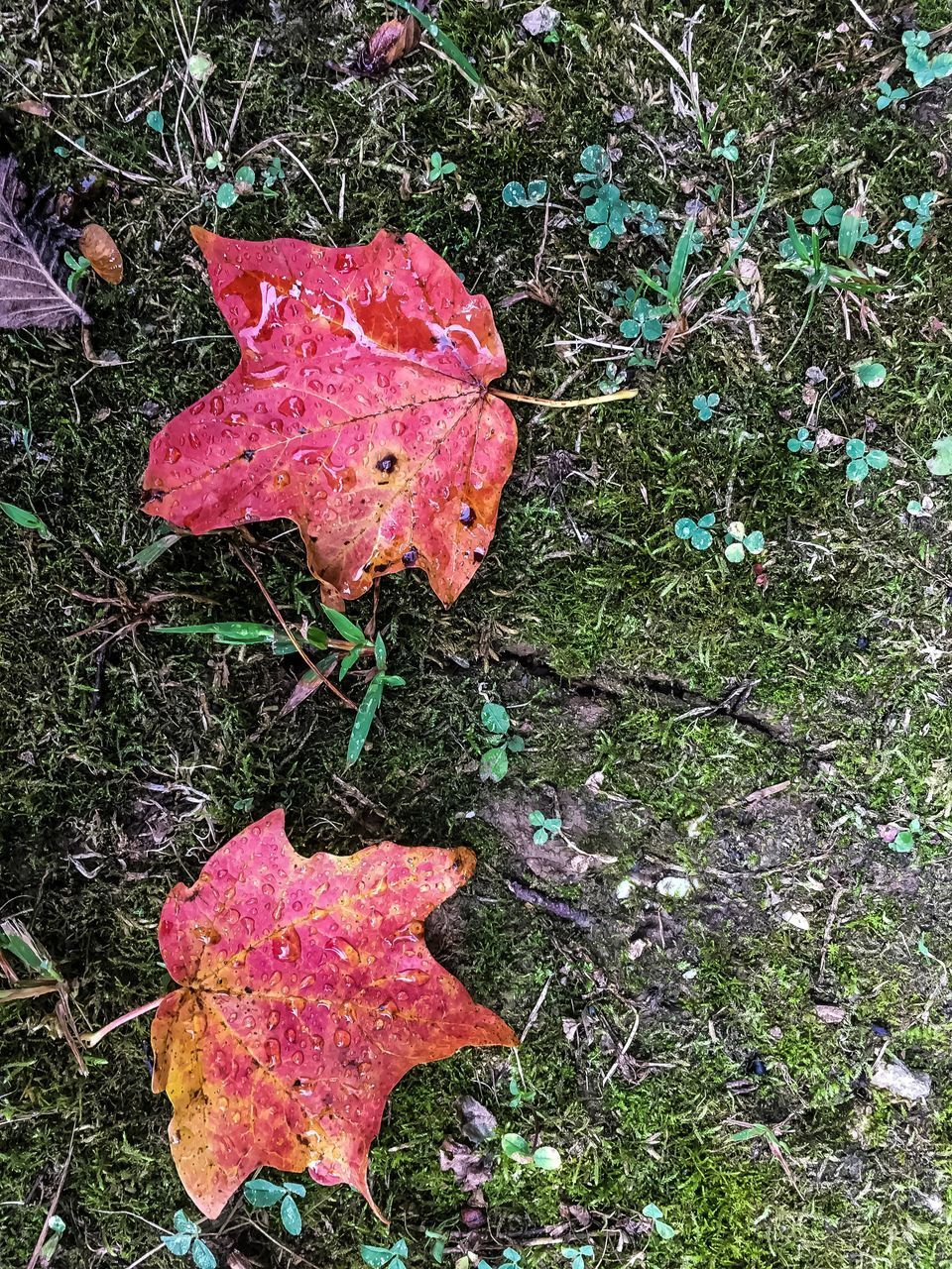 leaf, autumn, field, change, dry, nature, day, high angle view, outdoors, no people, grass, fragility, growth, beauty in nature, maple, close-up, fly agaric mushroom