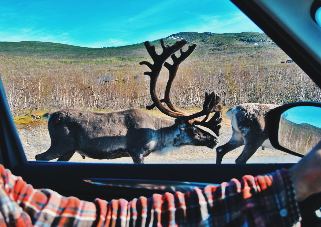 Cropped hand of man driving car by reindeer on field
