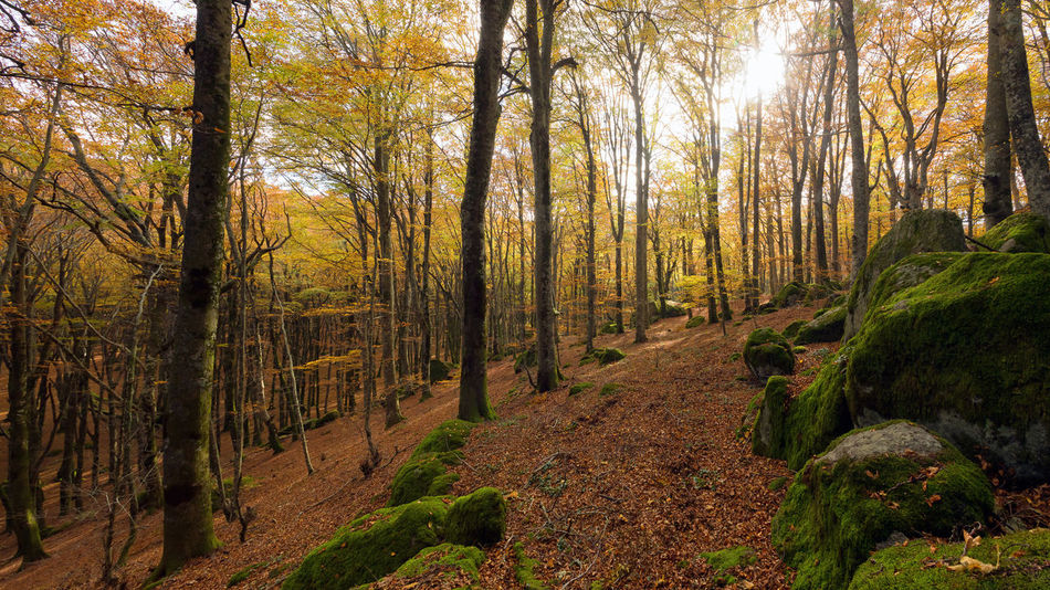 Beech forest in autumn weather, the bare trees and a bed of dry leaves in the path on the ground. The warm colors of autumn in the undergrowth of this great panoramic large-format photograph. Composition of multiple images. Tree Plant Forest Land Tranquility Beauty In Nature WoodLand Tree Trunk Trunk Growth Nature Scenics - Nature Tranquil Scene Non-urban Scene Day Autumn No People Environment Outdoors Change Foliage Foliage Tree Enviroment
