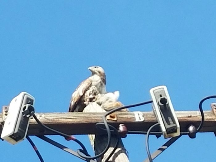 Check This Out Taking Photos Nature Photography Outdoor Photography Bird And Prey Bird Feeding Hawk Urban Wildlife Bird On Post Bird Photography Bird Of Prey