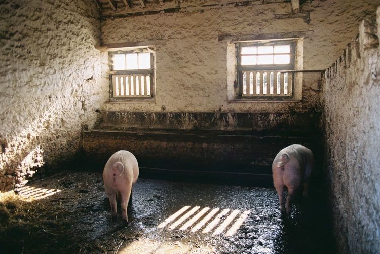 Close-up of two pigs in a farm house