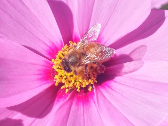 https://youtu.be/VrSXAZVGQhY Turn the volume down and just smile with me😊😊😊😊😊😊😊😊😊😊 Flower Insect Petal Plant Nature Pink Color Purple No People Pollen Flower Head Insect Theme Outdoors Beauty In Nature Fragility Freshness Close-up Bee One Insect Cosmos In My Garden Cosmos Pollination 1 Autumn In New Zealand Cosmos Flower 🐝dance Of The Bee🐝