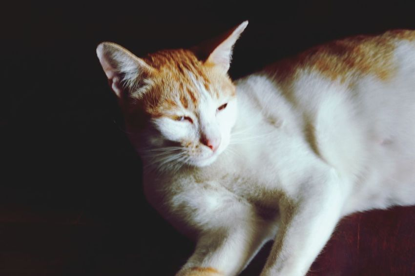 Pets Black Background Portrait Feline Domestic Cat Sitting Kitten Eyes Closed  Close-up