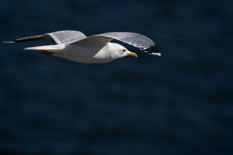Common gull flying in mid air over sea with spread wings