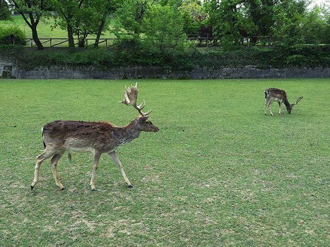 Dama Dama friends Fallowdeer Deer Damadama Antlers Sigurtà Nature