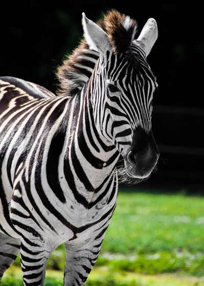 Lion Country Safari Zebra Animal Animal Body Part Animal Head  Animal Markings Animal Themes Animal Wildlife Animals In The Wild Close-up Day Domestic Animals Field Focus On Foreground Grass Herbivorous Mammal Nature No People One Animal Outdoors Standing Striped Vertebrate Zebra