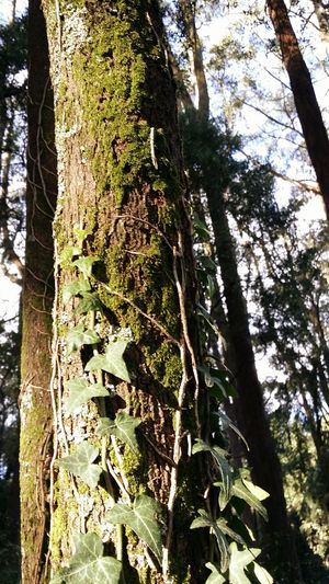Mossy Ivy Loveliness On A Gum Tree.