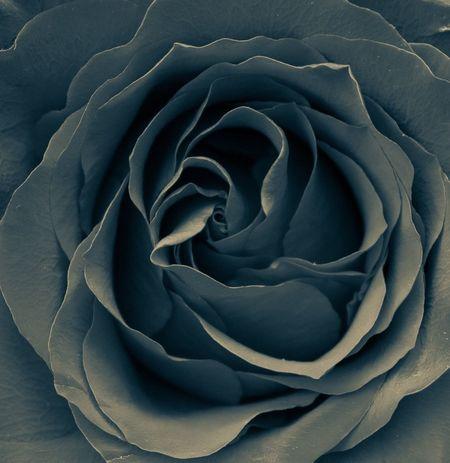 Flower Backgrounds Full Frame Abstract Petal Flower Head Rose - Flower