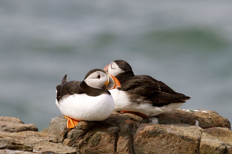 Two Puffins on a cliff edge on the fare islands Animal Themes Animal Wildlife Animals In The Wild Bird Bird Photography Birds_collection Close-up Day Farne Islands Iconic Bird Mating Pair, Nature No People Northumberland Outdoors Puffins Water Wildlife & Nature Wildlife Photography