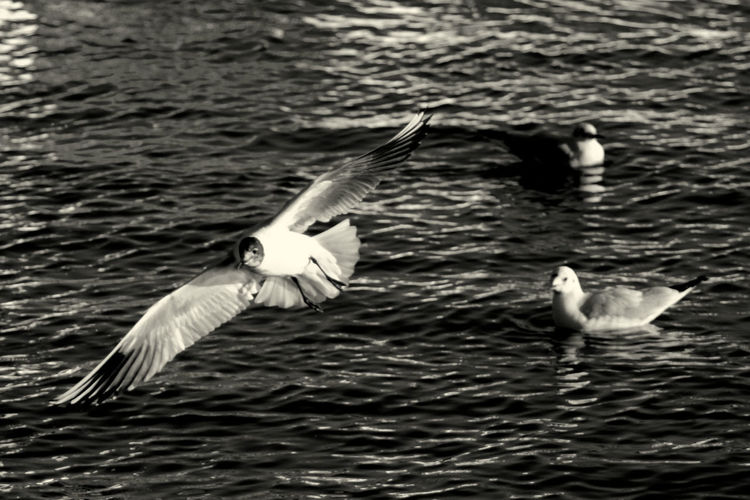 Flying seagull Germany Photos SEAGULL IN FLIGHT Seagulls Water Reflections Animal Black And White Blackandwhite Blackandwhite Photography Bnw Bnw Photography Bnw_captures Bnw_collection Bnw_friday_eyeemchallenge Bnw_life Bnw_worldwide Flying Monochromatic Monochrome monochrome photography Monochrome_life Seagull Seagulls And Sea Seagulls In Flight Seascape Water