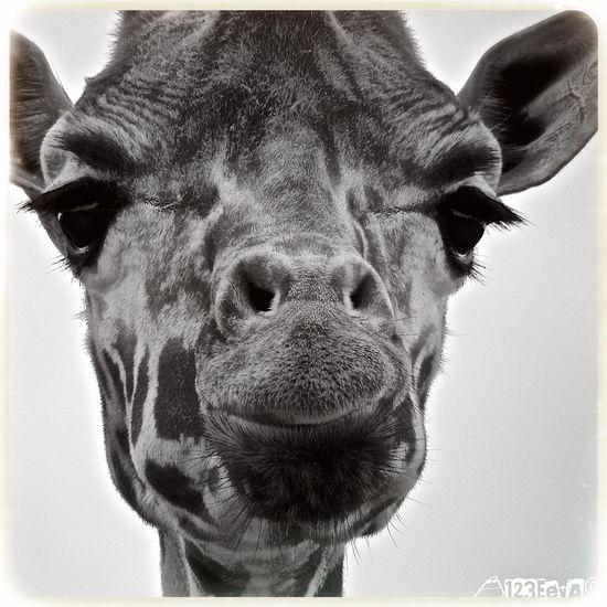 Faces Of EyeEm Faces Blackandwhite Giraffe Portrait Closeup Beekse Bergen