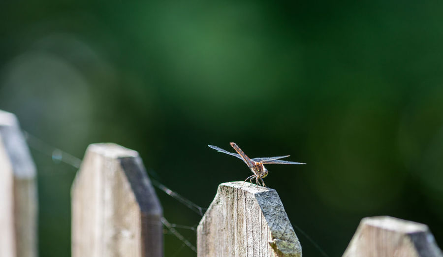 Beauty In Nature Close-up Countryside Day Detail Dragonfly Nature No People Outdoors Selective Focus Sweden Wooden Fence