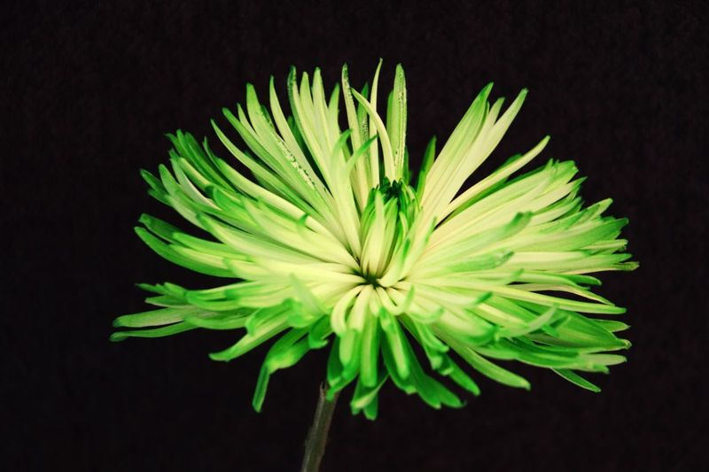 Close-up Vulnerability  Studio Shot Plant Fragility Black Background Beauty In Nature