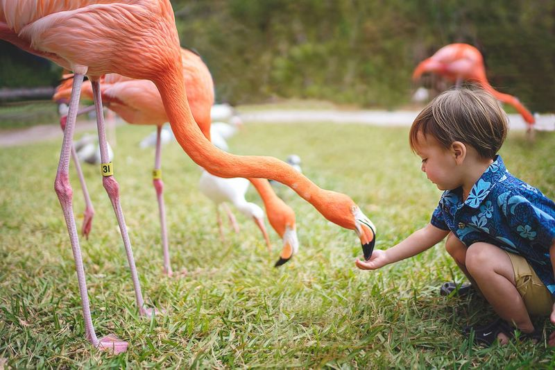 Feeding! Little Boy Kids Animal Themes Bird Outdoors Day One Animal Grass Flamingo Childhood Field Focus On Foreground Nature One Person Full Length People Side View