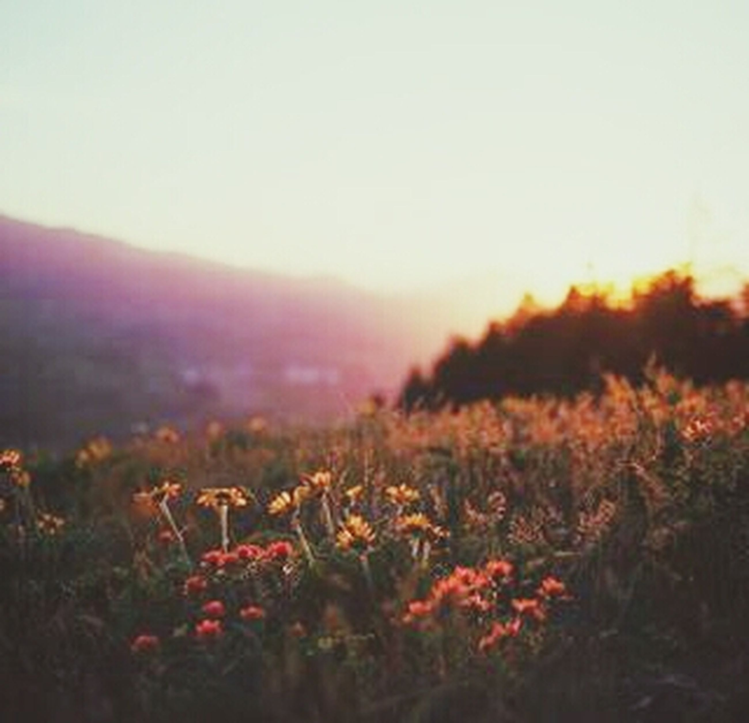 flower, beauty in nature, growth, nature, plant, field, freshness, sunset, clear sky, fragility, tranquility, focus on foreground, tranquil scene, landscape, scenics, sky, blooming, copy space, outdoors, petal