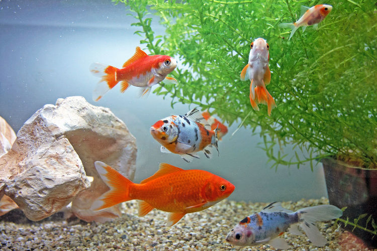 Goldfishes in