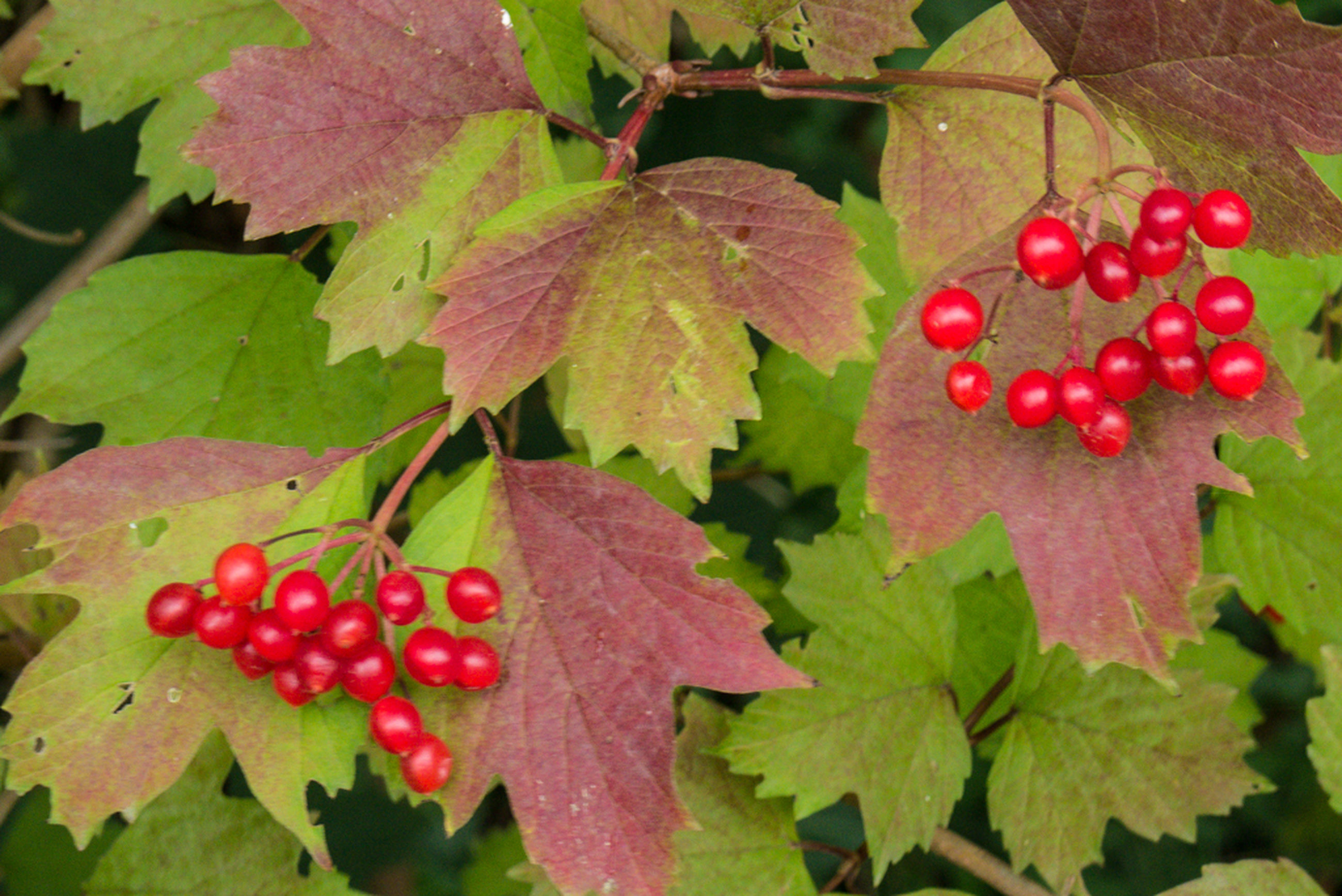 red, leaf, fruit, food and drink, food, healthy eating, freshness, growth, close-up, green color, berry fruit, ripe, nature, strawberry, berry, tree, plant, no people, branch, day