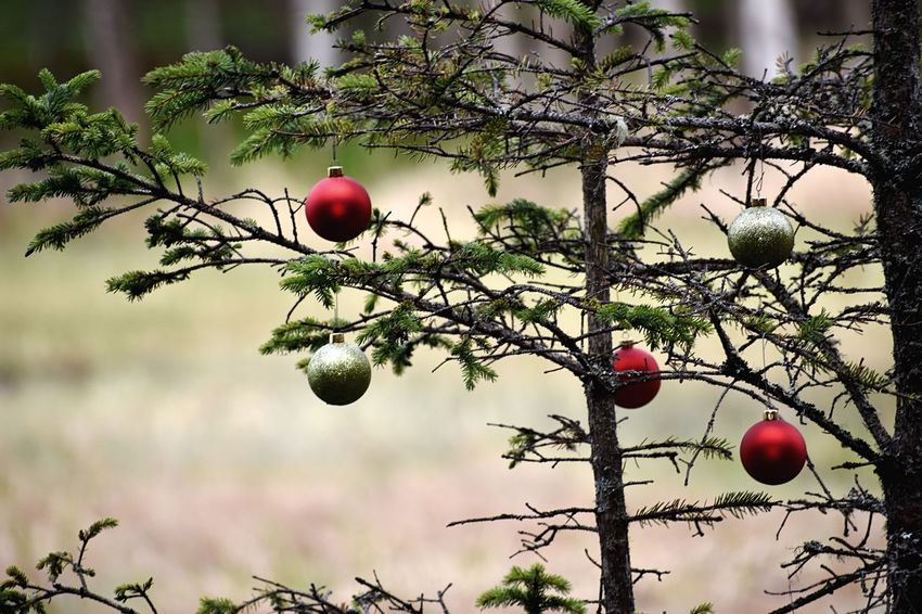 Wild Charlie Brown Christmas Tree Confierous Evergreen Christmas Alaska Festive Holiday Tree Plant Food Healthy Eating Fruit Food And Drink Growth No People Red Freshness Branch Beauty In Nature Nature Outdoors Day Green Color Close-up