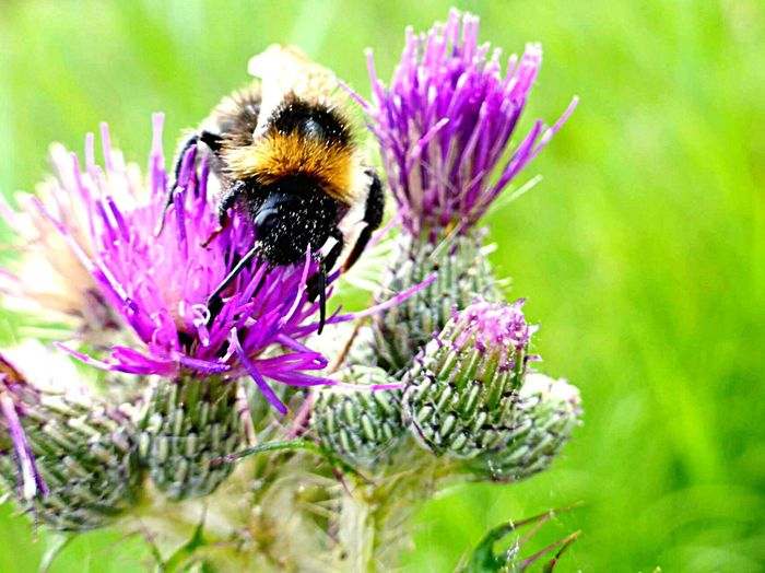 Bee Bumble Bee Bumble Bee Collecting Pollen Flowers Thistle Flower Pollen Wicken Fen Motus Natura