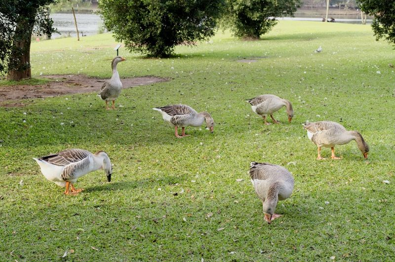 Bird Animal Themes Grass Large Group Of Animals Field Nature Day Goose Goose Eating